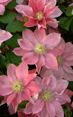 Little Mermaid Clematis- front flower garden