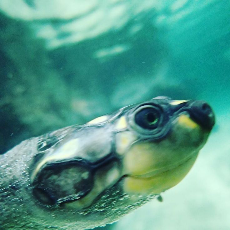 Just swimming around and around watching people @korkeasaari #turtle #selfie #closeup