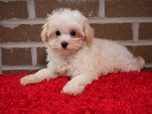 Maltese-Maltipoo Puppy For Sale in KENT, OH, USA #Maltese