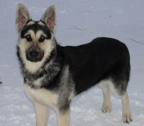 Black And Cream German Shepherd Dog