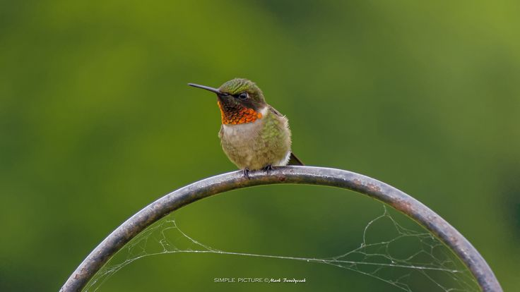 Pit Stop - This perching hummingbird is taking a short rest from collecting flower nectar and hunting insects.