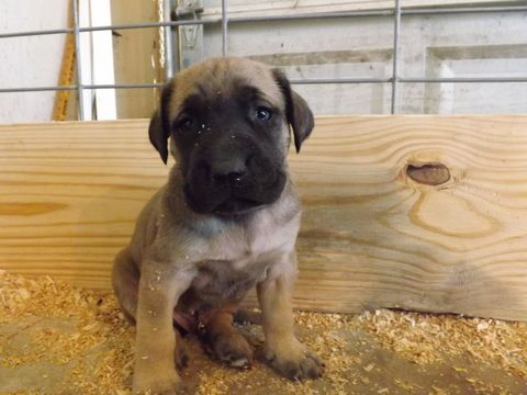 Litter of 9 Mastiff puppies for sale in MAGNOLIA, TX. ADN-22060 on PuppyFinder.com Gender: Male(s) and Female(s). Age: 4 Weeks Old
