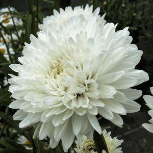 1000 Images About Plants To Buy On Pinterest Gardens Sun And Perennials