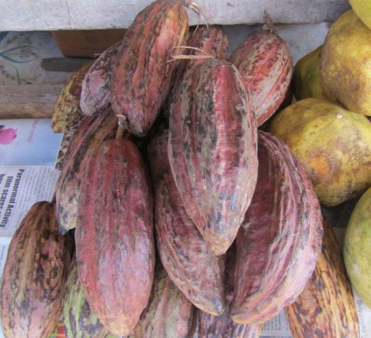 De vrucht van de cacaoboom is een dikke peul, ongeveer 20 centimeter lang. Cacao pods zijn er in verschillende kleuren: geel, groen, bruin en rood zijn mogelijk. De kleur van de cacaopeulen is onbetrouwbaar om de rijpheid te bepalen, kloppen is beter. Deze foto is gemaakt in Paramaribo, Suriname.