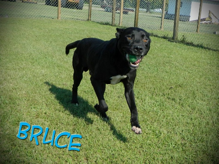Bruce is a 2 year old Lab/Mastiff mix. He is a ... | Dogs available f ...
