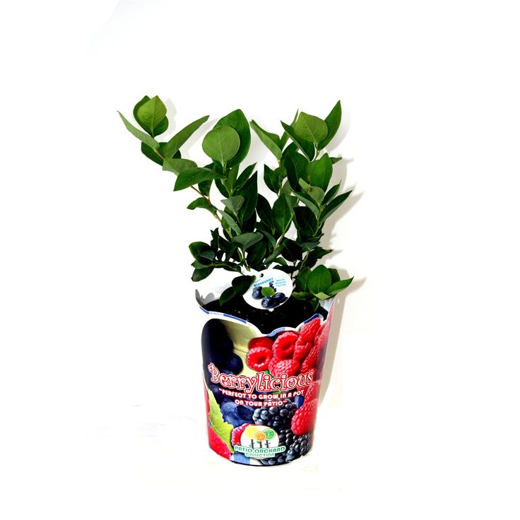 140mm Vaccinium Virgatum Blueberry Sharp Blue | Bunnings Warehouse