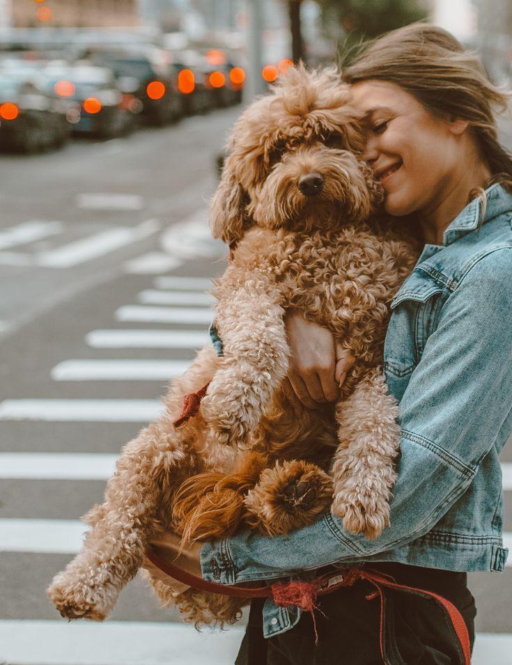 Ralphie Our Mini Goldendoodle Pup Mini Goldendoodle