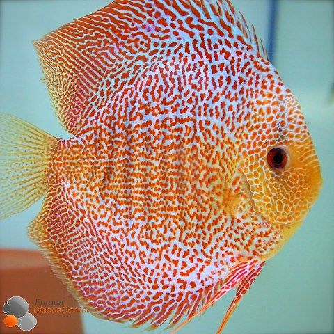 Fish Tank Lovers — Red Leopard Sknakeskin Discus fish.                                                                                                                                                                                 More