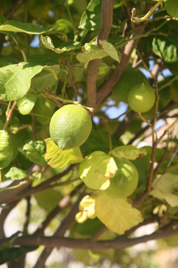 Lemon tree grows under the #Greek #sun at Yakinthos Residence Mykonos
