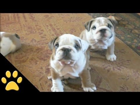 Bulldogs are Awesome...this video is crazy cool...