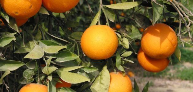 أين يزرع البرتقال Agriculture Fruit Orange