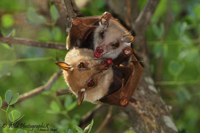 epauletted fruit bat and pup | Wild animals (as opposed to ...