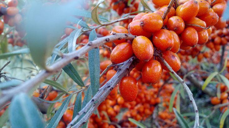 Cu toate ca sunt mici si amare, fructele de catina au o valoare terapeutica…