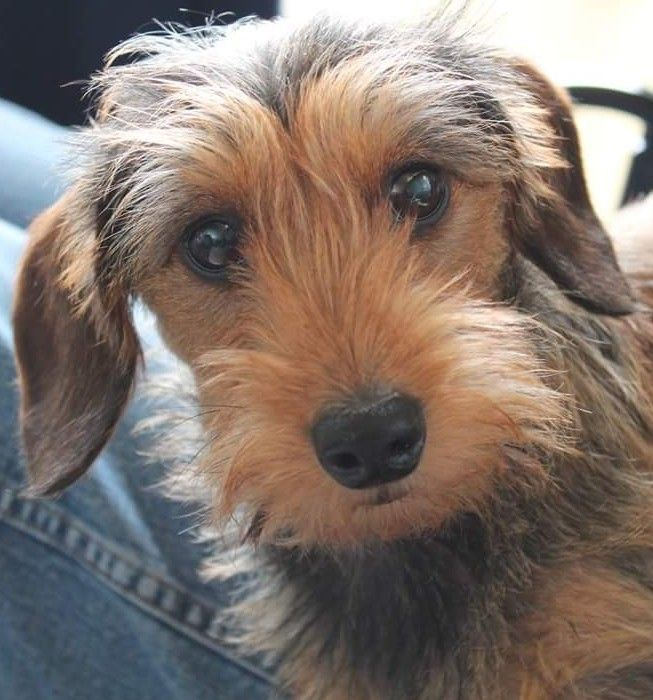 Wirehaired Dachshund Wire Haired Dachshund Dachshund Puppies