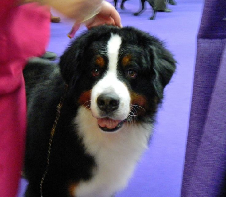 Day 2 behind the scenes from Westminster Kennel Club Dog Show benching