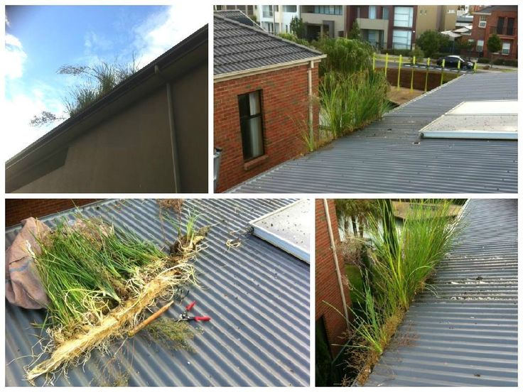 Gutter-Vac Coffs Harbour came across some pretty crazy gutter growths!   Need Gutter-Vac Coffs Harbour to clean your gutters? Call 1300 654 253 for a free quote!