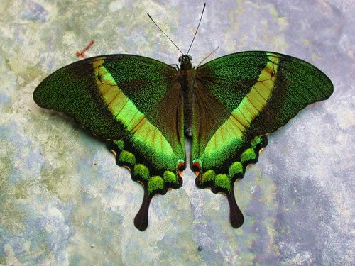 Green-Banded Swallowtail - A green flash is all you may see of this swift-flying swallowtail from southeast Asia