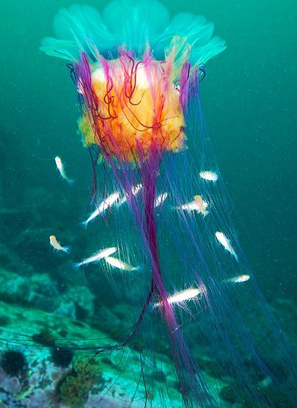 This jellyfish is known to be the 'wildest of all creatures' and the most colorful. Little fish swim side-by-side next to this amazing wonder.