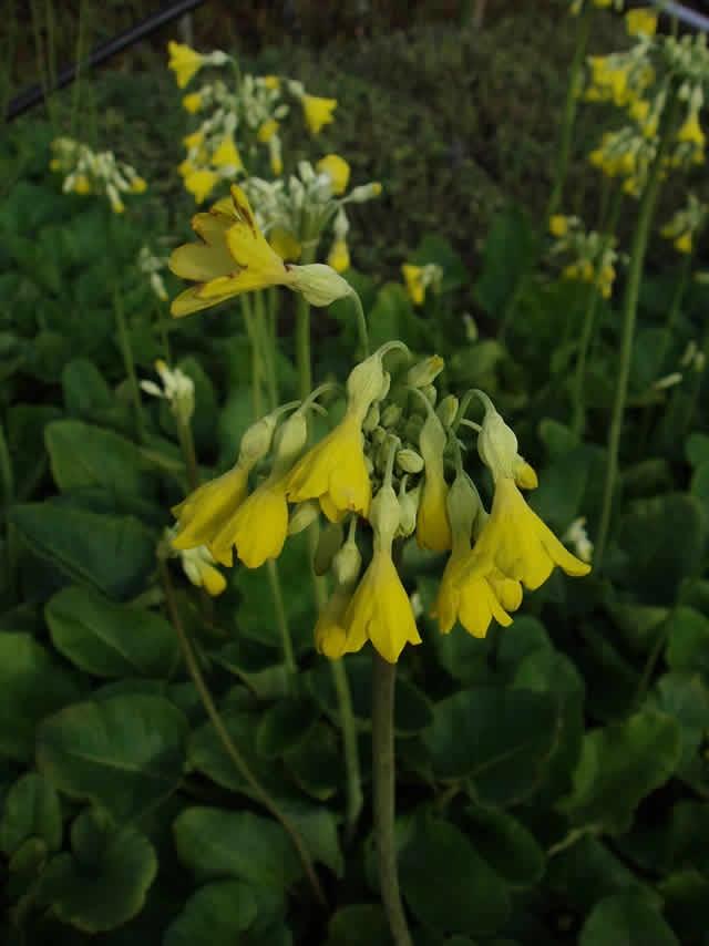 PRIMULA florindae - Kæmpe Primula (MS) - Lundhede Planteskole