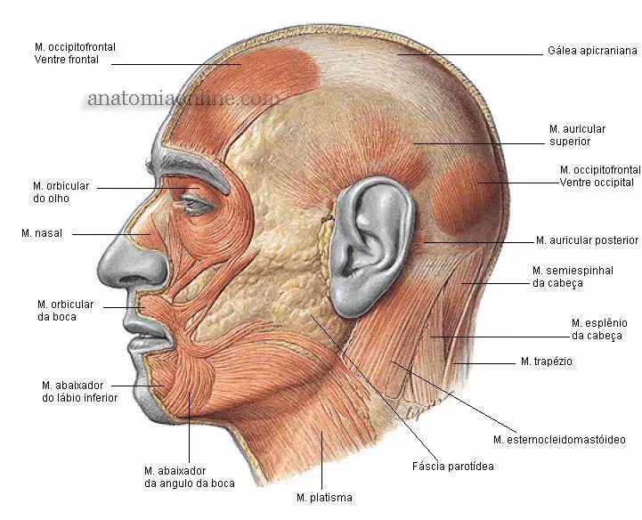 Anatomia Online - Músculos da Cabeça