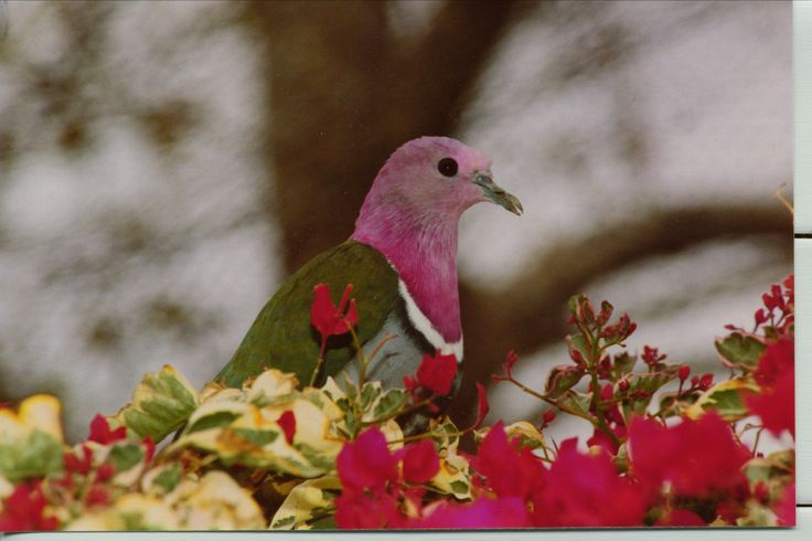 Pretty Pink neck fruit dove.Pinkhead Fruit, Pink Neck, Beautiful Animal, Bing Image, Fruit Dove, Beautiful Birdie, Beautiful Birds, Beautiful People, Feathers Friends