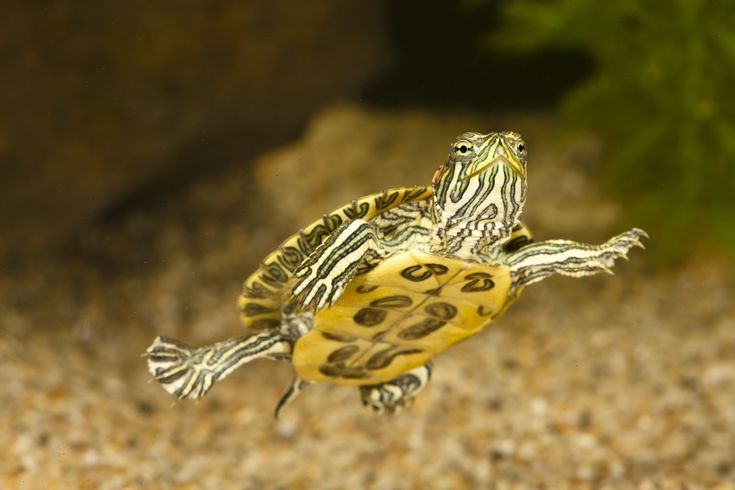 How to Care for Pet Red Eared Slider Turtles