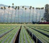 Oxnard, CA strawberry field