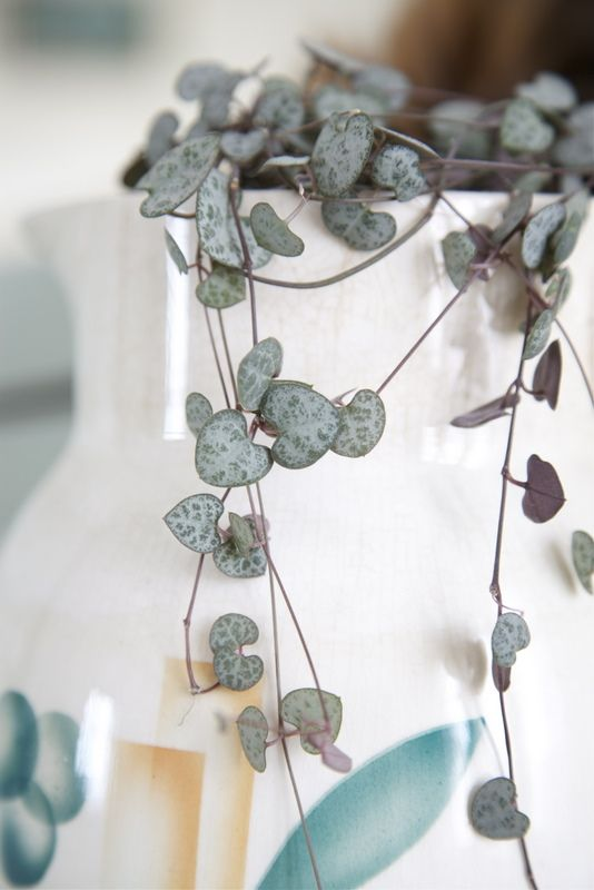 String of Hearts Vine-One of my absolute favorites...so that's what they are called!!