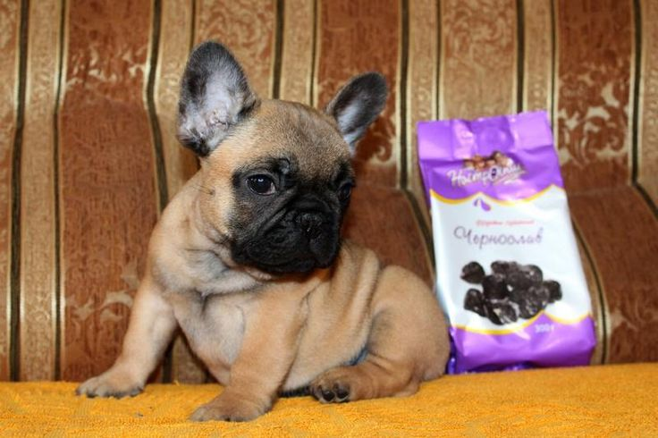 Предлагаются к продаже щенки французского бульдога - http://dogcat.yworld.ru/obyavleniya/puppies-fr/predlagayutsya-k-prodazhe-shhenki-francuzskogo-buldoga.html