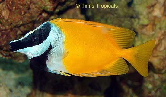 FoxFace Rabbitfish, Siganus vulpinus