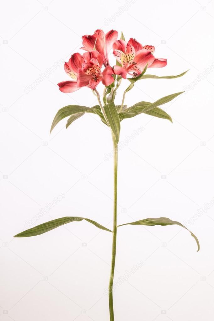 Afbeeldingsresultaat Voor Alstroemeria Flower Tattoo Alstroemeria Flowers Flower Tattoo