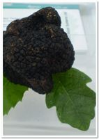 Truffle tree: Oak Tree