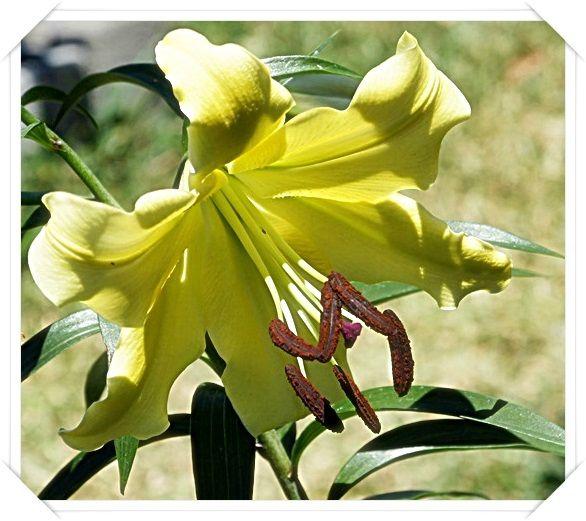 Fleurs, arbres, arbustes....dans mon jardin en photos (1/7) - Vertus de l'ananas avec un lien avec des