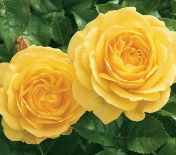 Julia Child Rose Bush Starter Plant Ships Without Pot Etsy In 2021 White Flower Farm Hybrid Tea Roses Rare Roses