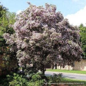 Pompom Tree or Dais cotinifolia