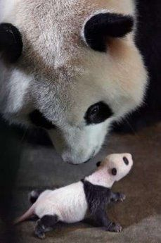 Mommy panda and her tiny baby - iGOZEN is safe for your family and pets iGOZEN is 100% safe to use around children and pets. #iGOZEN is hypoallergenic and a non-toxic organic cleaner.