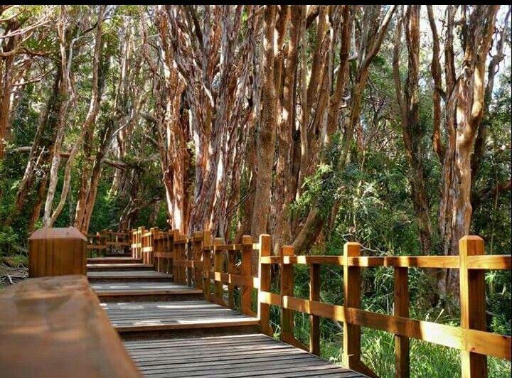 Bosque de arrayanes, Neuquen, Argentina.