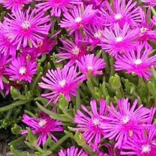 Ijs Plant Tafelberg Delosperma zaden Perennial Seeds 50 Ingehuld zaden