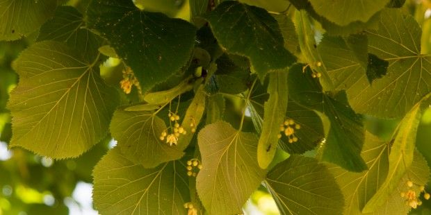 LOVE IS IN THE TILIA?