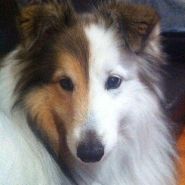 Everything About Cute Shetland Sheepdog Puppy Exercise Needs