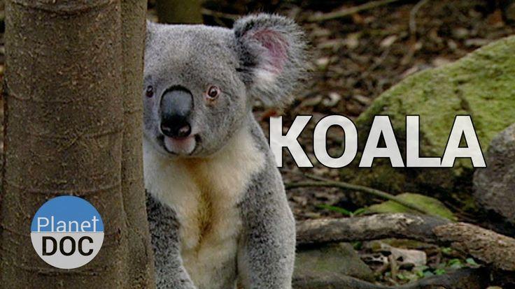 Koala Facts   Wild Animals - Planet Doc Full Documentaries