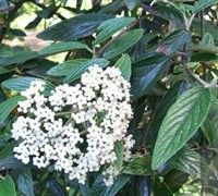 Prague Viburnum. fast growing, flowering, evergreen shrub