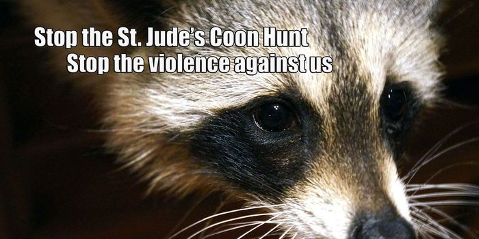 St. Jude's hospital accepts donations from a coon hunt where raccoon's are hunted with dogs and killed... (2628 signatures on petition)