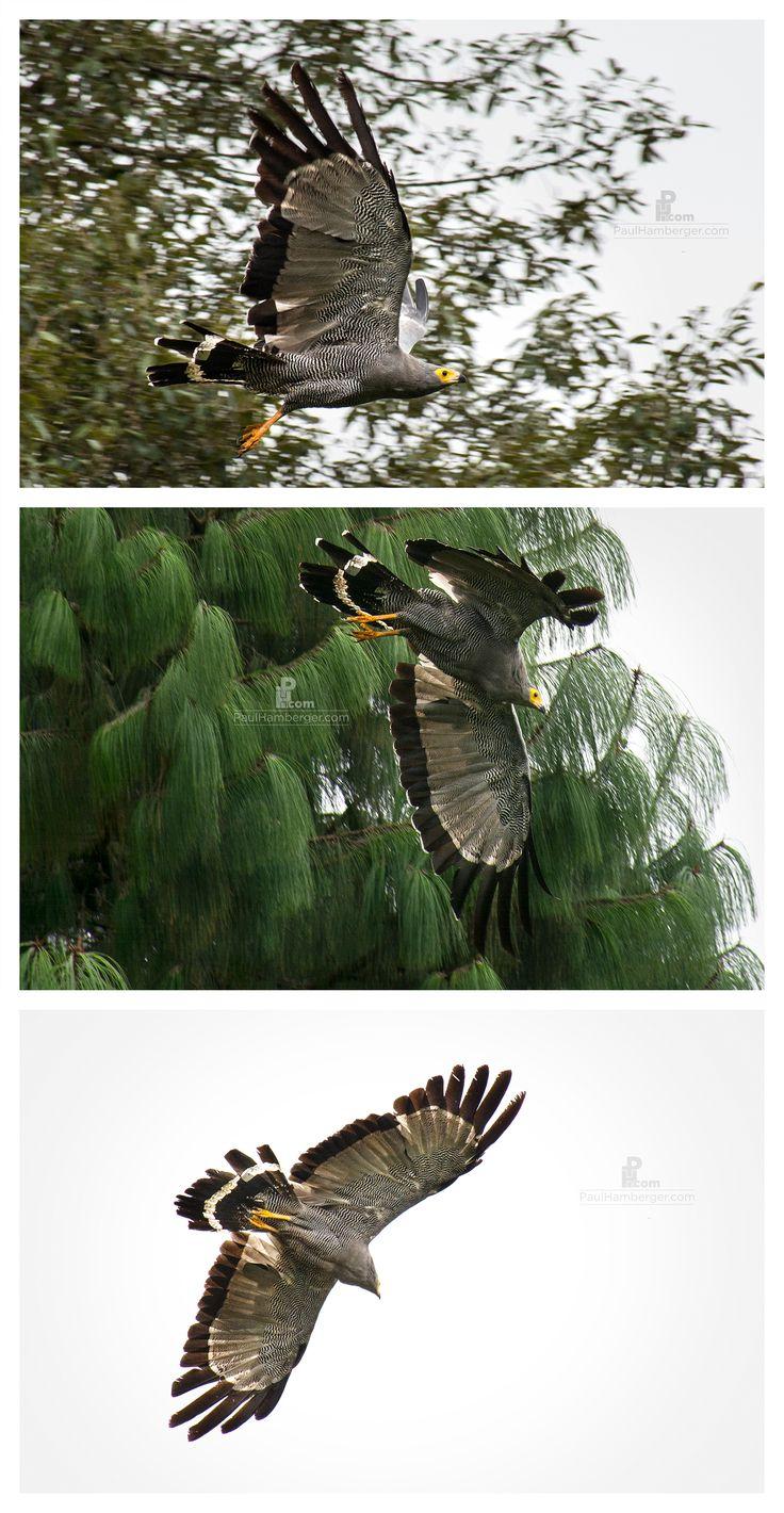 Wildlife photography, birds of prey, hawk, birds, hunting, flying. www.paulhamberger.com