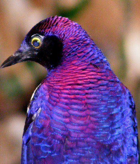 I Wonder What The Name Of This Beautiful Purple Blue Bird Is Birds Starling