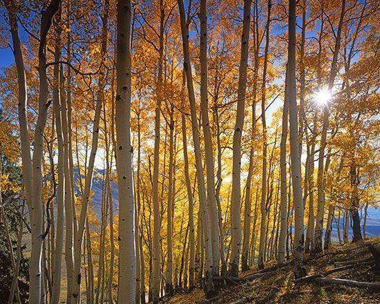 Aspen Grove, Gunnison National Forest via MuralsYourWay.com
