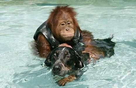 Suryia the orangutan and Roscoe the dog became best friends when they first met each other. The pair live at The Institute of Greatly Endangered and Rare Species in Myrtle Beach, SC.