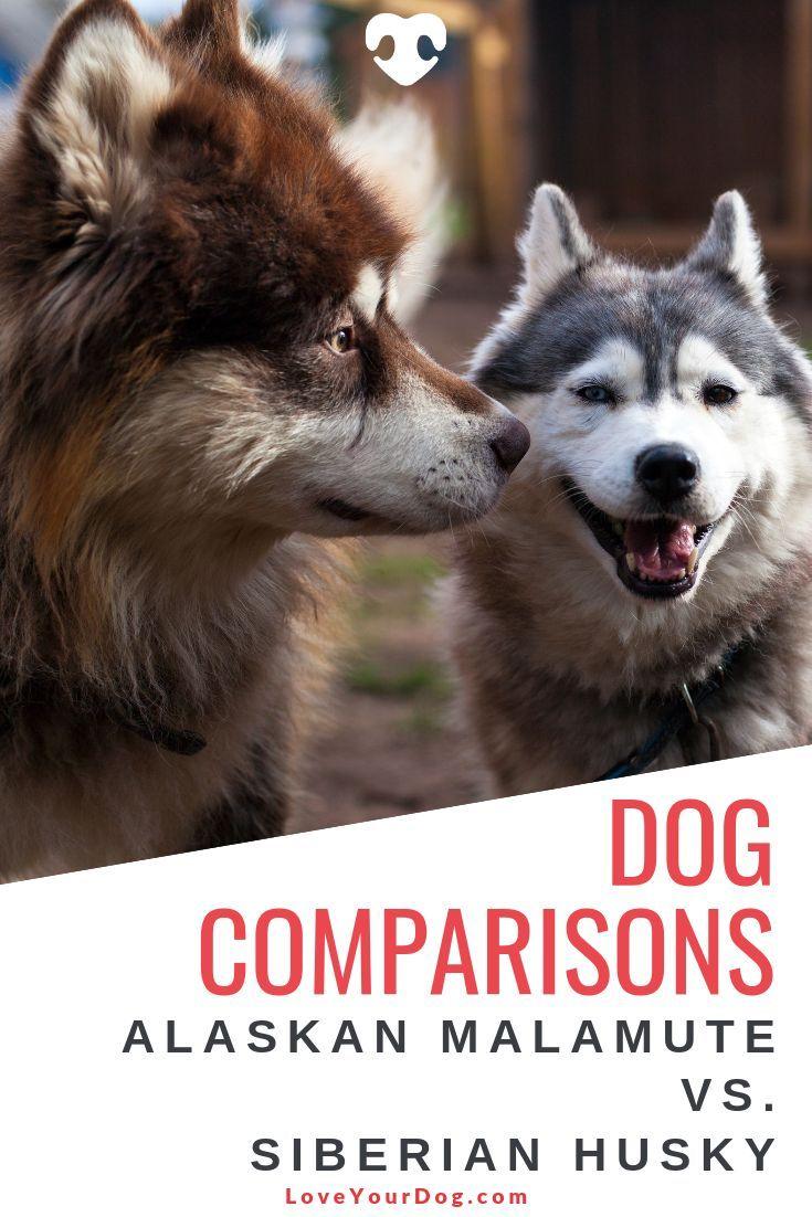 Alaskan Malamute Vs Siberian Husky What S The Difference