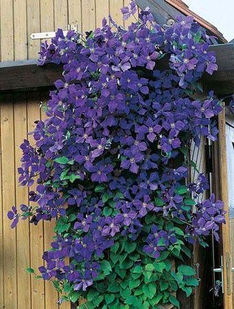 Vendita diretta Clematide Jackmanii, Piante rampicanti. Varietà di clematide molto decorativa, grazie all'abbondante fioritura viola lucente da giugno a settembre. Fiori da 10/12 cm di diametro.