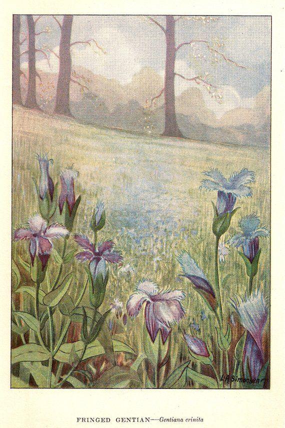 """1926 Vintage GARDEN FLOWER /""""GENTIAN/"""" GORGEOUS COLOR Art Print Lithograph"""